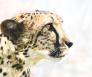 Cheetah bedreigde diersoort