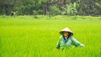 rijstvelden riezen