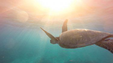 Schildpad in de zee