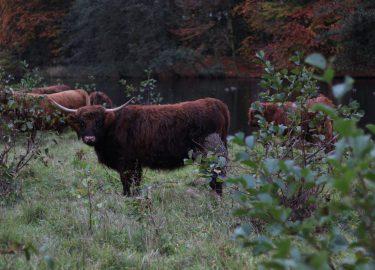 Schotse hooglander in weiland