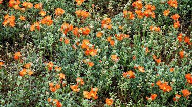 actieve steen kool bloemenveld