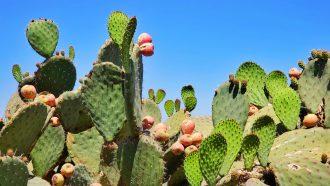 nopal cactus waarmee het duurzame leer gemaakt wordt