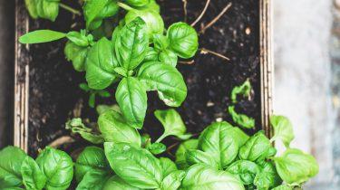 groen kruiden in tuin